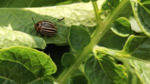 Colorado beetle on a potato leaf