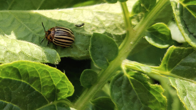 Colorado beetle on a potato leaf